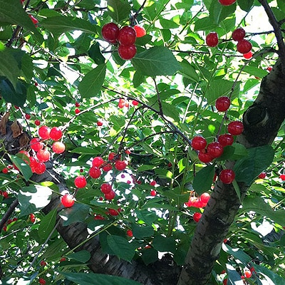 Picking Fresh Sour Cherries