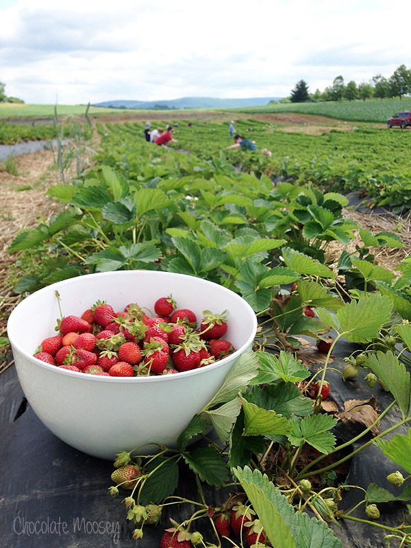 Picking fresh strawberries for Strawberry Shortcake Cheesecake