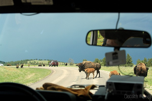Buffalo in the road at Custer State Park