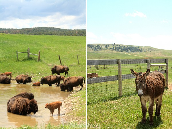 Custer State Park with buffalo and mule